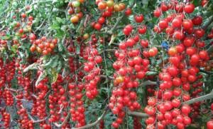 coltivazione del pomodoro ciliegino pachino